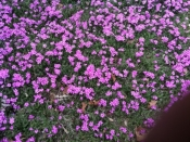 Creeping Phlox 1gallon - Product Image