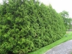 Green Giant Arborvitae - Product Image