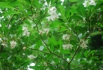 Styrax Japonica / Snowbell - Product Image